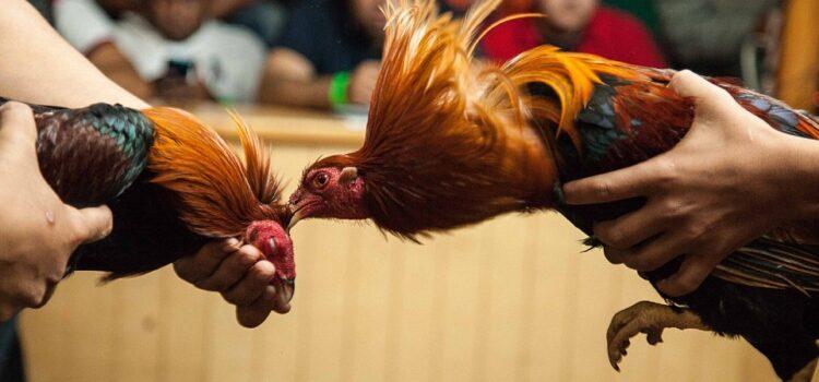 Agen Sabung Ayam Online Situs Judi Bola Situs Judi Resmi Online